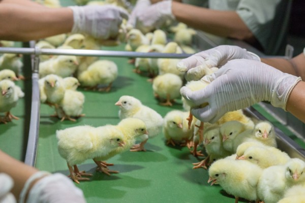 Chicks on the production line