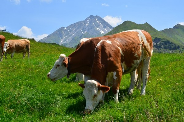 Cows grazing on an alpine pasture in Austria