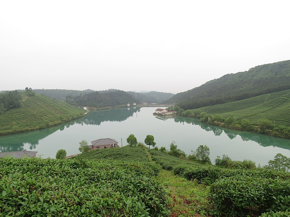 A view to organic tea gardens in an environmental protected area in South China