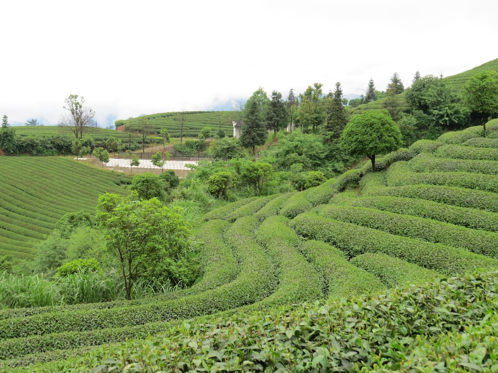 tea gardens  in the