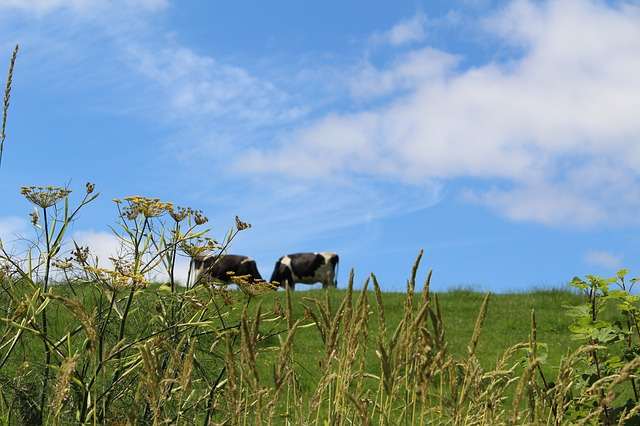 Two cows on a meadow