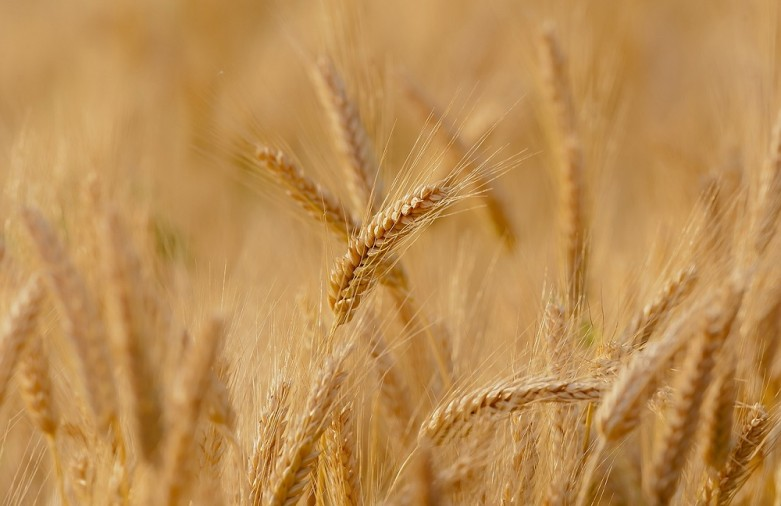 Another case of genetically modified wheat in the US