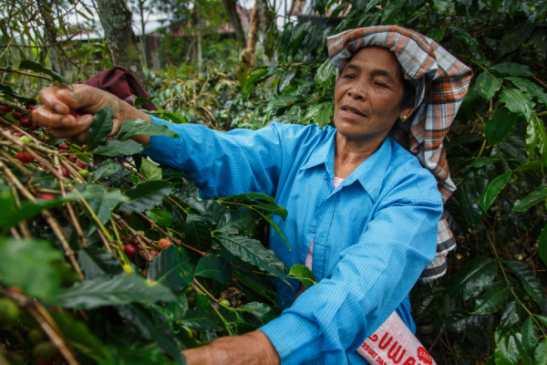 Coffee farmer harvesting coffee cherries