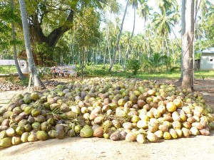 Storage of coconuts