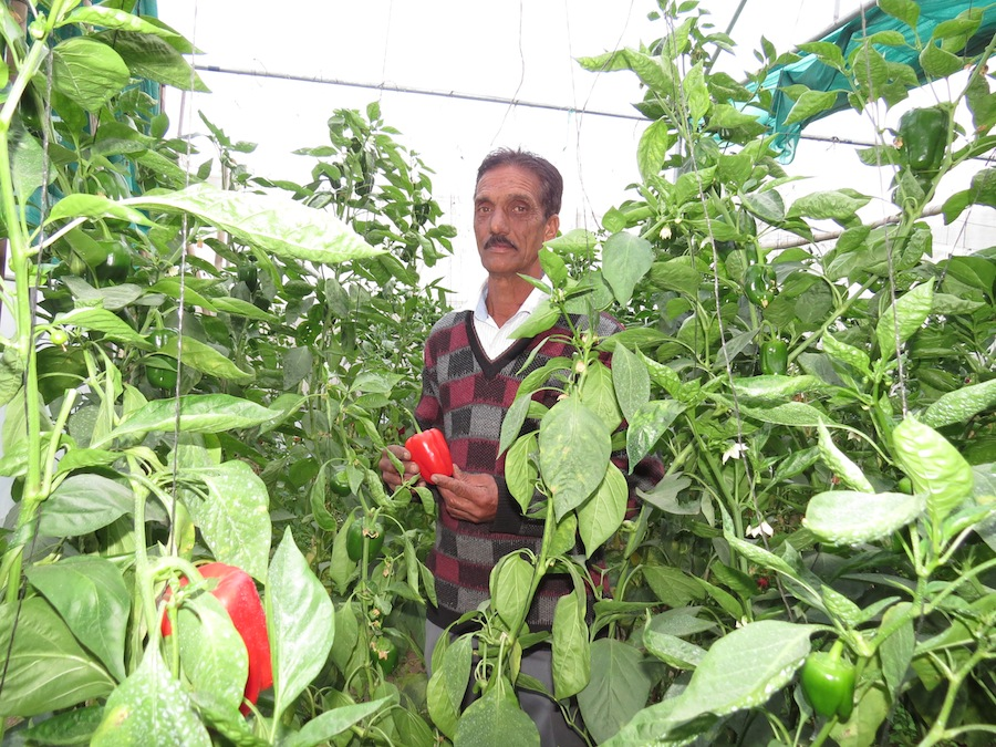 Greenhouse with organic pepper production in Himachal Pradesh.