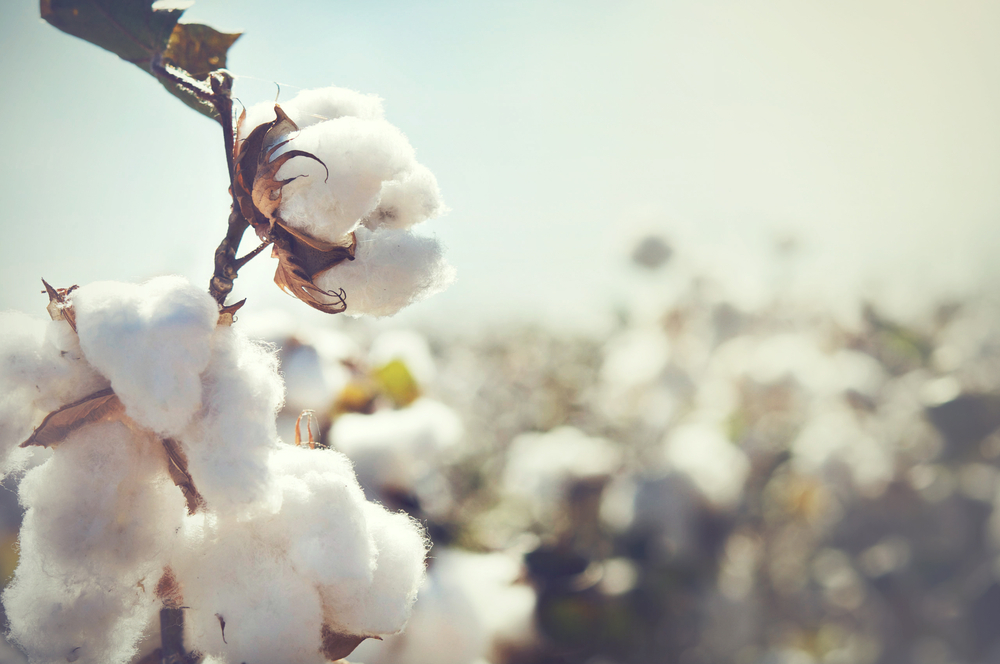 Cotton © Shutterstock/BCFC