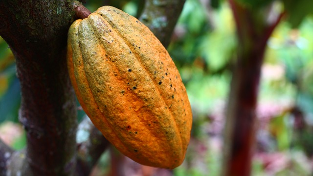 A yellowish cocoa fruit hanging at a cocoa tree
